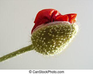 papaver - beautiful flower papaver. close-up