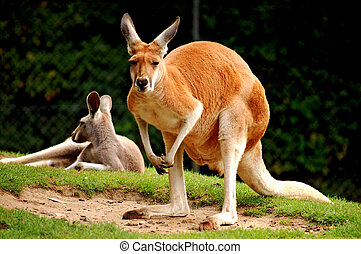 Red Kangaroo - Wildlife