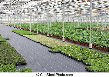 Cultivation of cupressus in a Dutch greenhouse - Cultivation...