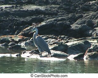 Great Blue Heron on the Galapagos Islands - Great Blue Heron...