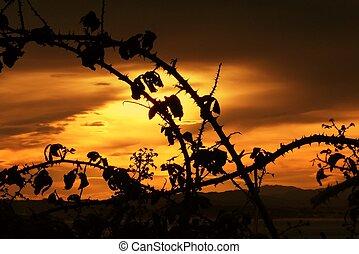 Back-light silhouettes of blackberry bush at sunset -...