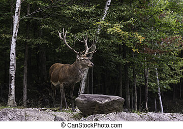 Large wapiti deer