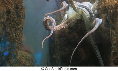 Octopus - Small octopus moves in an aquarium