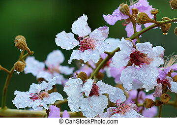 lagerstroemia macrocarpa flower after rain