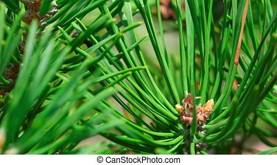 Black Ant - Black ant on pine tree, macro