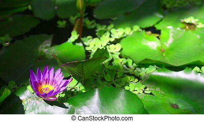 Water Lily Flower - Bee at the water lily flower
