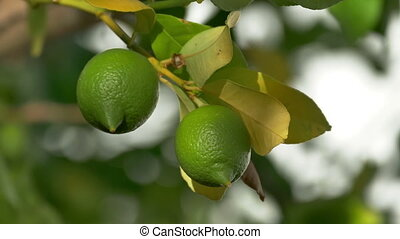 Unripe Green Lemons on the Branch Tree, closeup