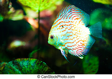Red tropical Symphysodon discus fish swimming