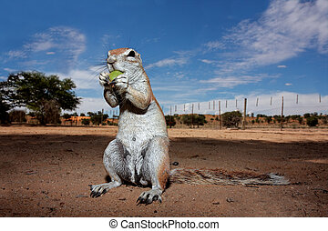 Ground squirrel - Inquisitive ground squirrel Xerus inaurus,...