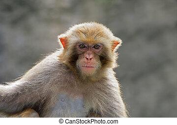 Rhesus macaque portrait - Portrait of a Rhesus macaque...