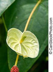 Anthurium cf scandens, Araceae, Ecuador