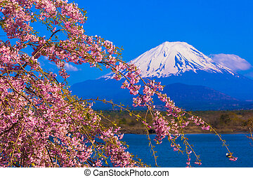 Mt Fuji and Weeping cherry blossom - Mount Fuji and Weeping...