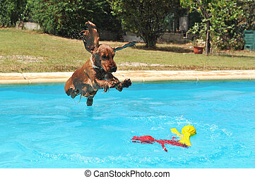 jumping cocker spaniel - jumping purebred cocker spaniel in...