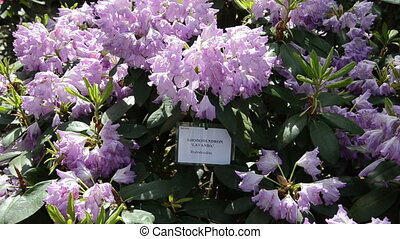 purple rhododendron - Tilt down of purple rhododendron...