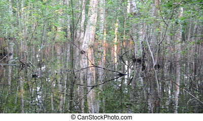 inundation tree flood - Inundation birch tree trunks...