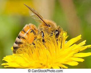trabajando, abeja
