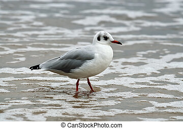 Seagull in sea foam
