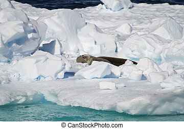 Antarctica - Seals On An Iceberg - Antarctica - Antarctic...