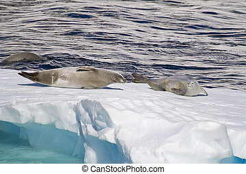 Antarctica - Seals On An Ice Floe - Antarctica - Antarctic...