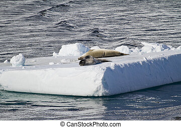 Seals Resting On An Ice Floe - Antarctica - Antarctic Seals...
