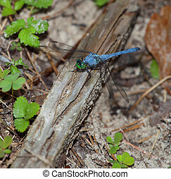 Blue dragonfly with green eyes on the ground