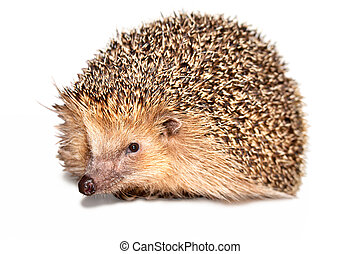 Hedgehog Isolated - Mature hedgehog isolated on white...