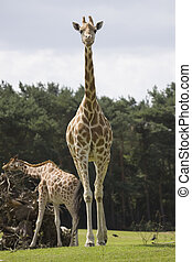 jirafa,  rothschild