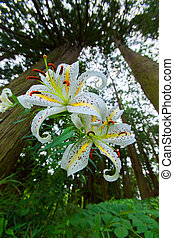 Golden-rayed lily (Lilium auratum) in Japan