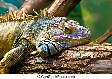Iguana - Sad Iguana lying along a branch