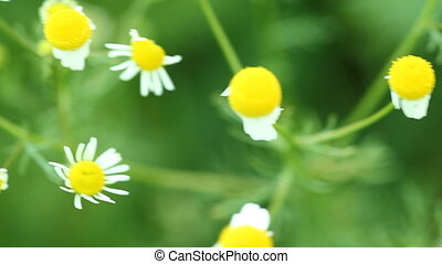 camomile chamomile flowers wildflowers on the green meadow...