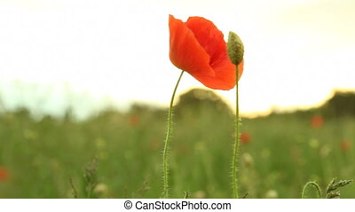 Red common poppy flower Full HD with motorized slider 1080p...