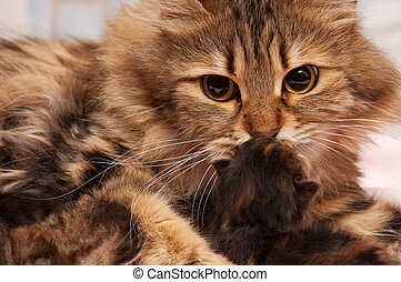 Siberian cat - Lovely siberian cat with newborn kitten...
