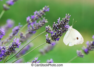 White butterfly on lavender flowers - Small white butterfly...