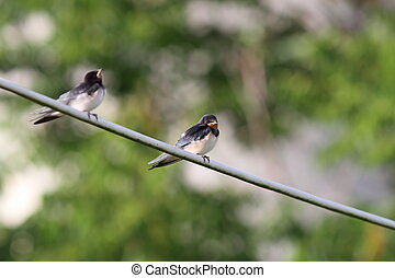 barn swallow standing on electric wire - barn swallow...