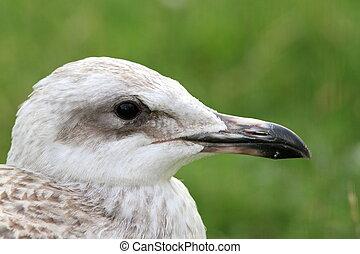 juvenile herring gull portrait - juvenile herring gull (...