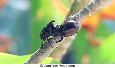 fighting of Rhino Stag Beetle