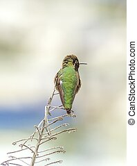 Anna's hummingbird - Profile view of a small Anna's...