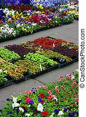 Multicolored pansies and coleus plants
