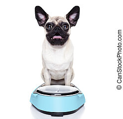 overweight pug dog - shocked and surprised pug dog about his...