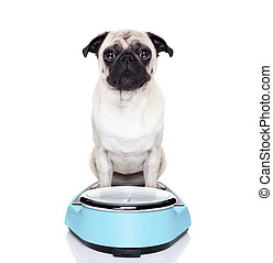 fat dog on scale - fat pug dog on a scale not happy about it