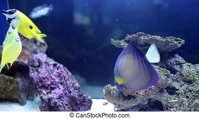 Angelfish And Longhorn Cowfish - Reef fish: Annularis...