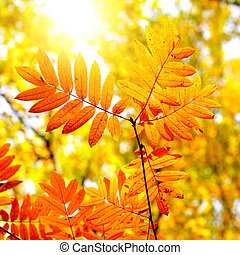 Autumn Foliage closeup - Autumn Foliage with Bright Leaves...