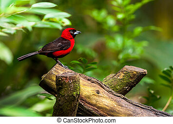 Red bird sitting on a branch, wildlife