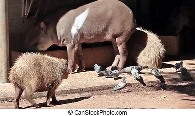 Capybara And Tapir - Video clip of capybara Hydrochoerus...