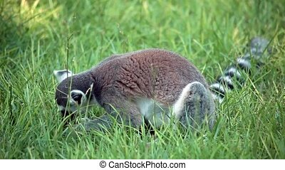 Ring-Tailed Lemur In The Grass - Video clip of ring-tailed...