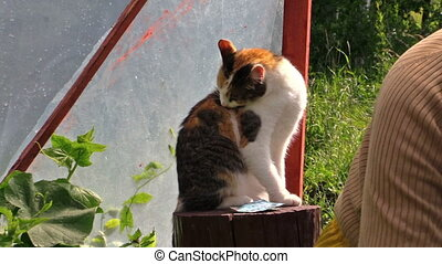 woman prune tomato branch - tabby little cat on stump and...