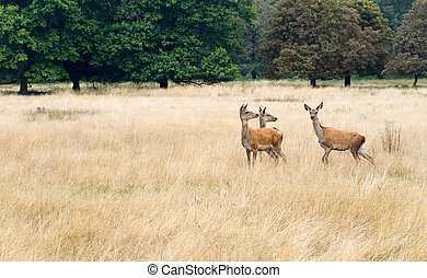 Three red deer hinds, curious, in long grass watching.