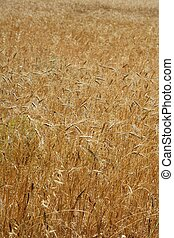 Golden yellow wheat cereal crop field texture