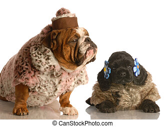 two dogs wearing funny dog coats - english bulldog and...