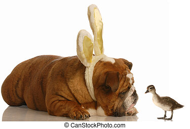 dog and duck at easter - english bulldog wearing bunny ears...